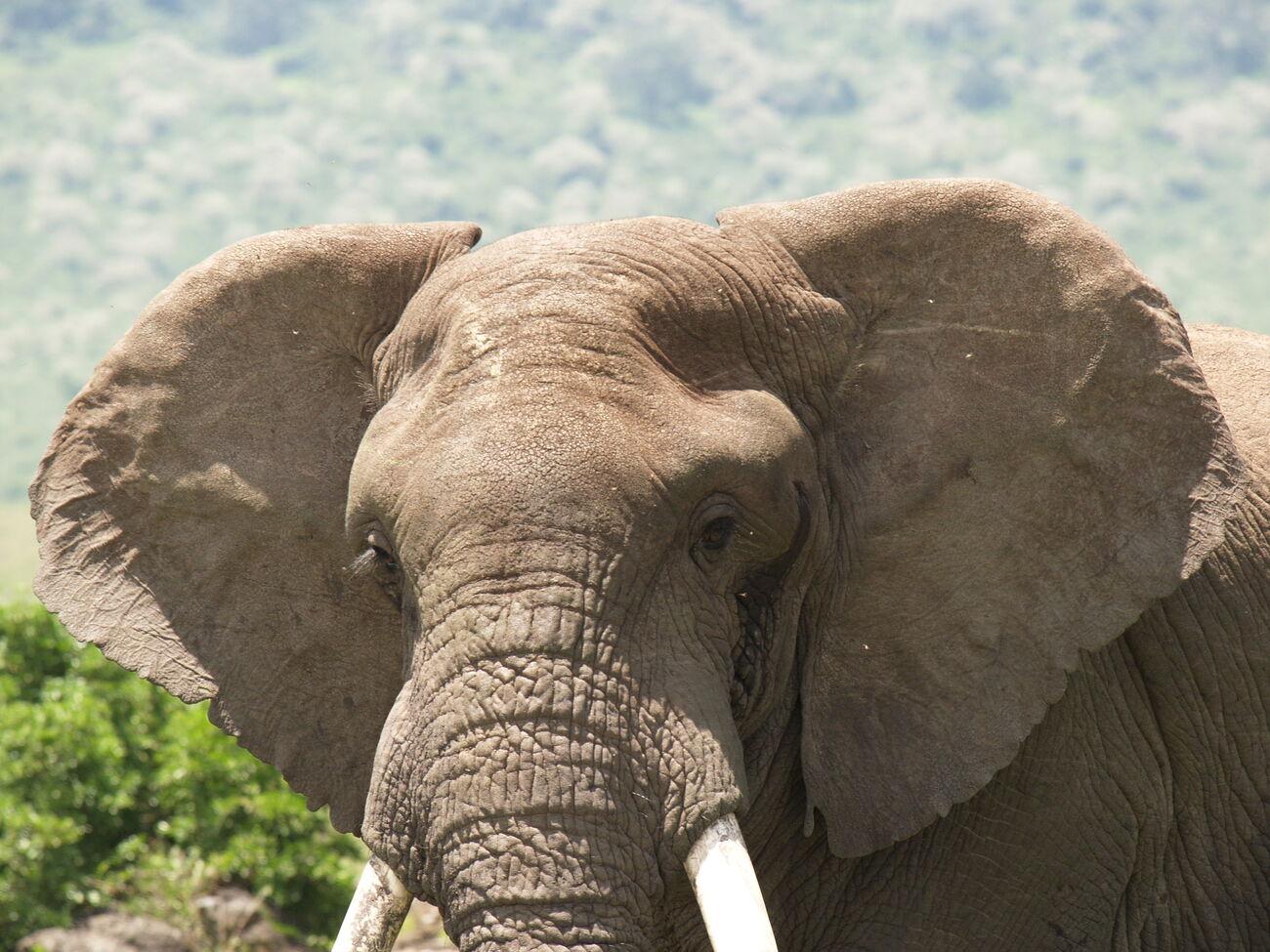 Asian elephant face