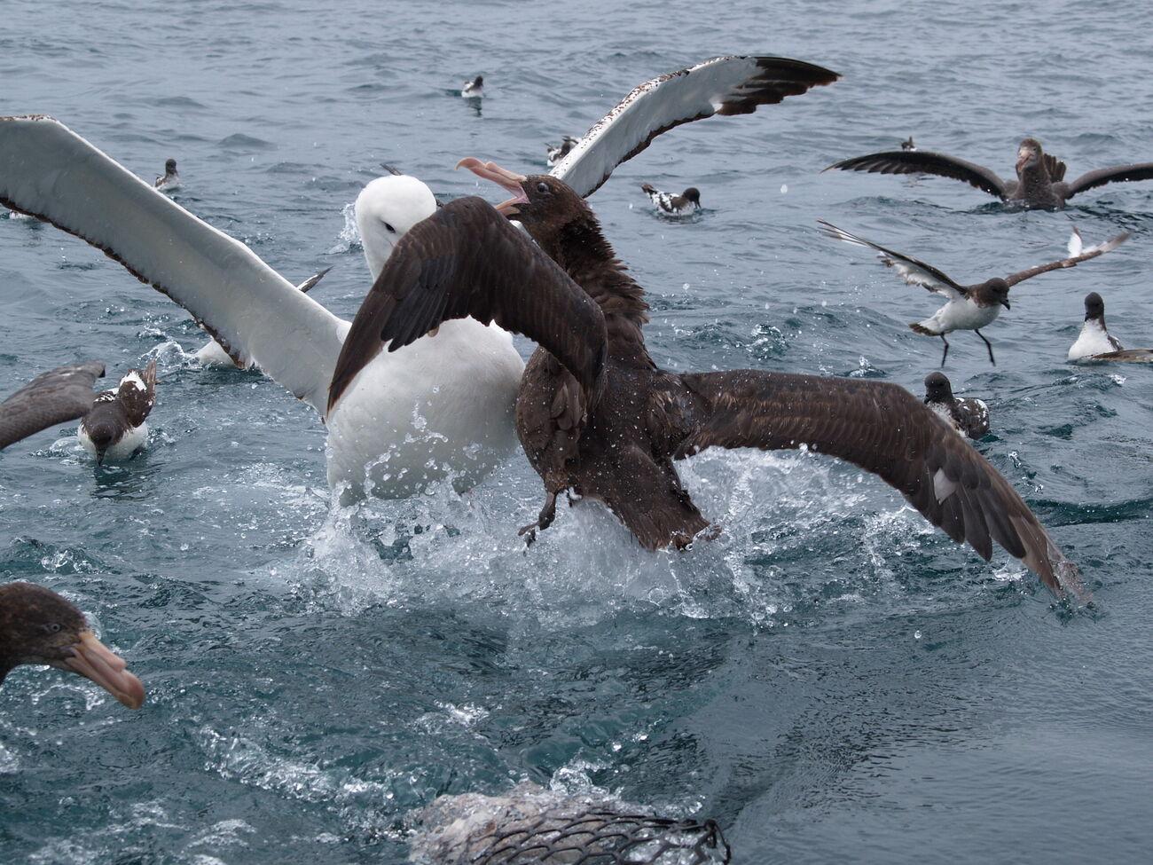 umhauen döse albatros