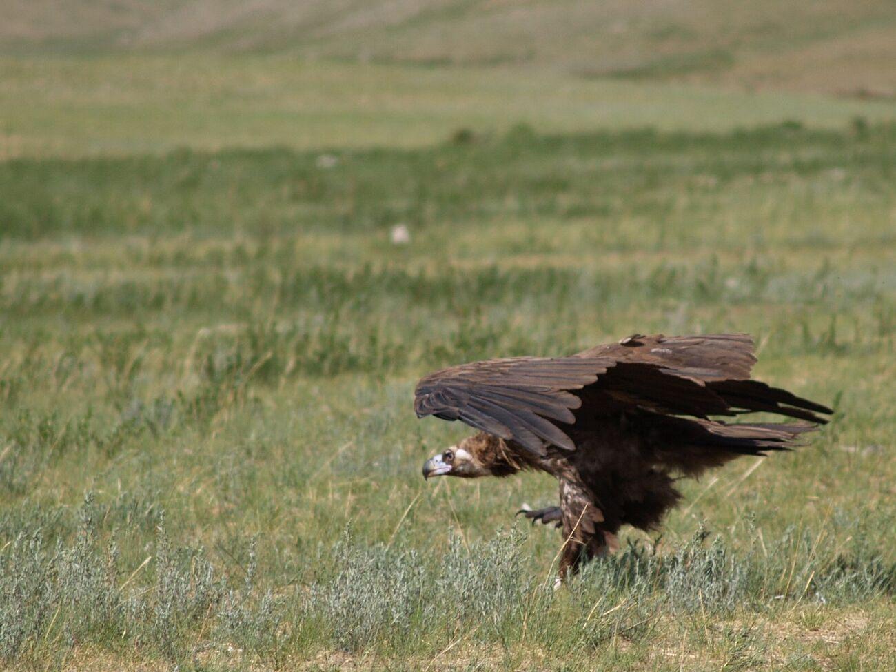 [Image: 56235090-black-vulture.jpg]
